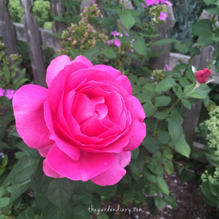 The Grand Dame Hybrid Tea ... old fashioned form and fragrance