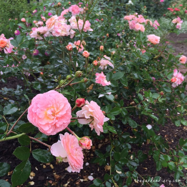 Apricot Drift Roses from Star Roses and Plants - still look like spring!