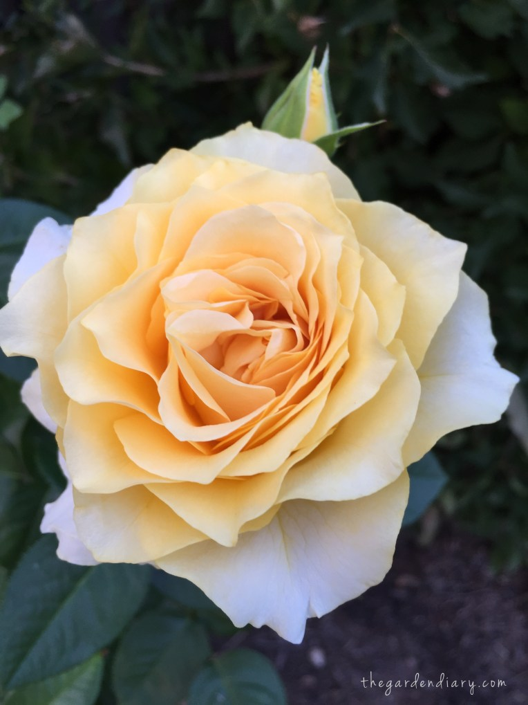 Doris Day ... lovely rose from Weeks Roses