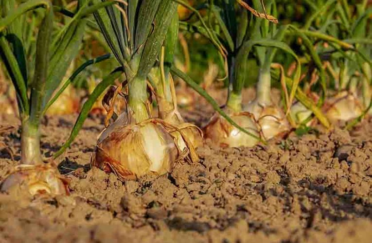 How to Grow Healthy Onions in Your Garden