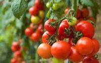 Grrow tomatoes