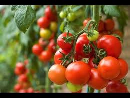 Gardening is therapy with tomatoes.