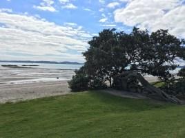 Pohutukawa tree knurled and kneeling to the sea.