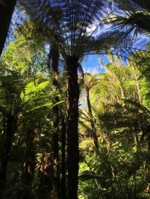Black fern tree!