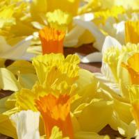 Welsh Daffodils 2017