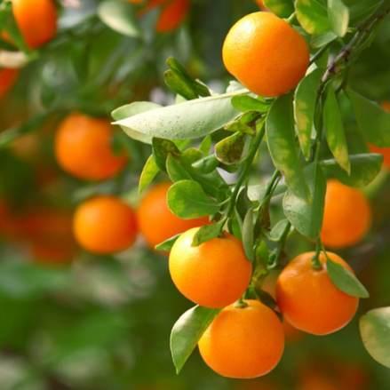 clementine orange tree - how to grow orange trees in pots
