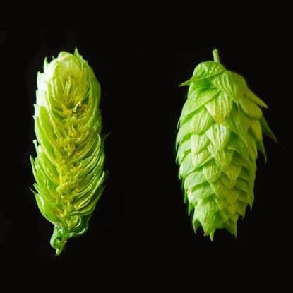 chinook hops
