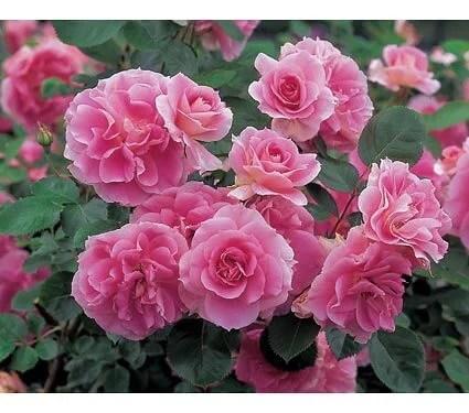 everblooming roses