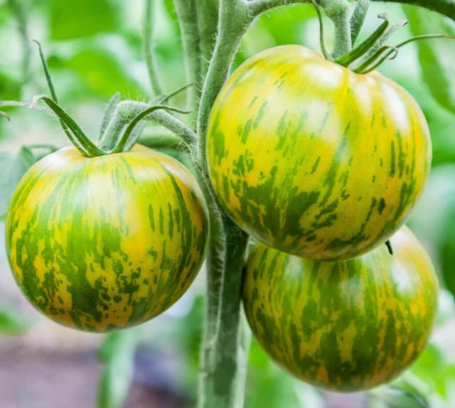 green zebras tomatoes