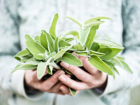how to harvest sage