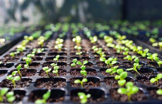 starting lavender seeds indoors