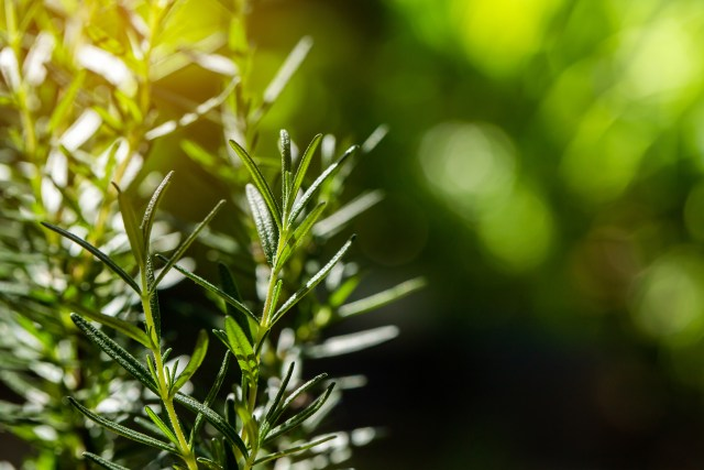 caring for rosemary