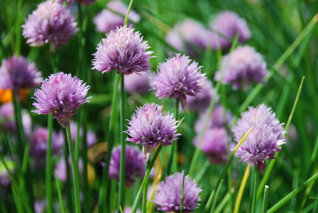 common chive
