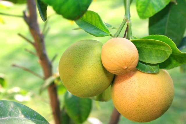 pomelo grapefruit 2