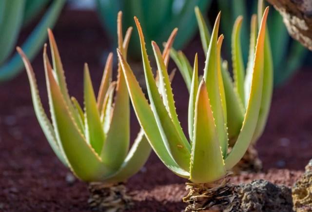 How to Grow Aloe Vera in a garden