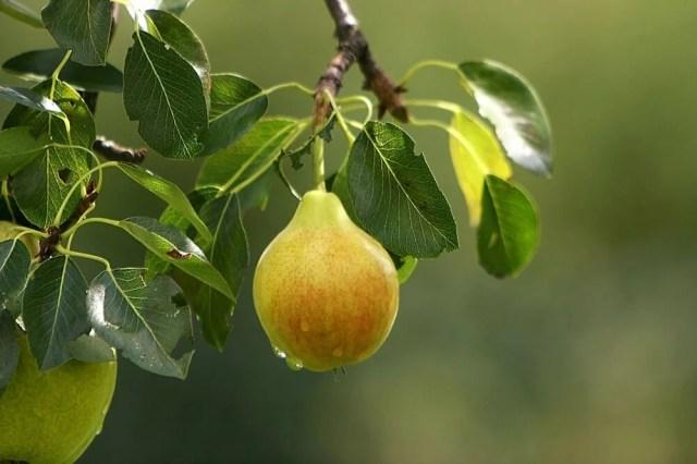 watering pear tree