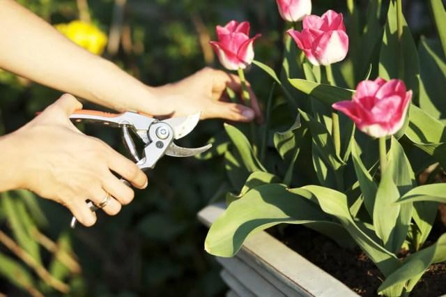 cutting tulips
