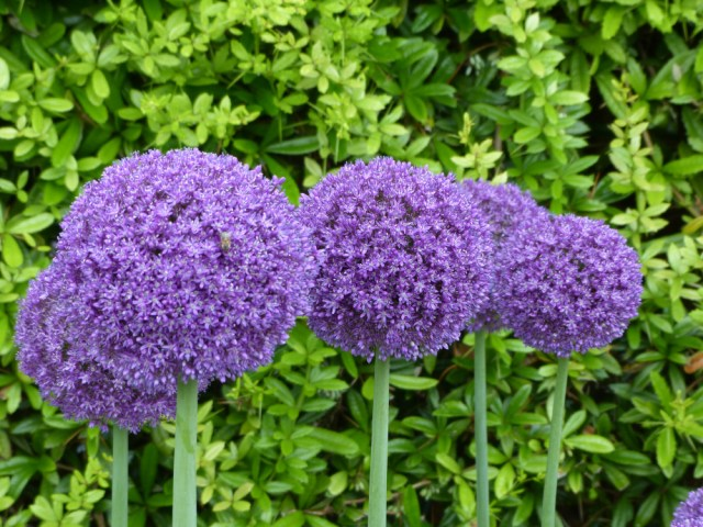 growing alliums