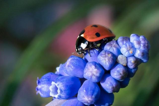 hyacinth pests