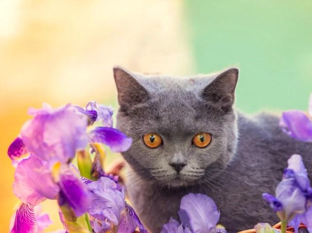 iris pests