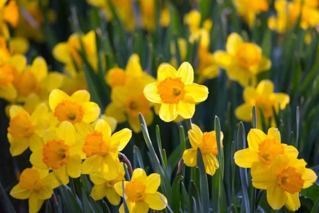 long cup daffodil