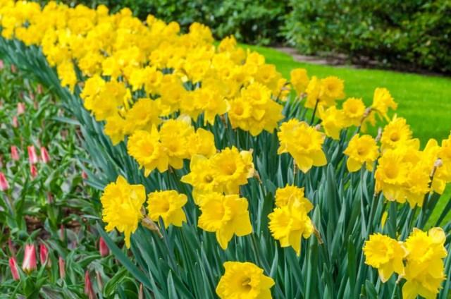feeding daffodils
