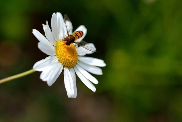 daisy uses