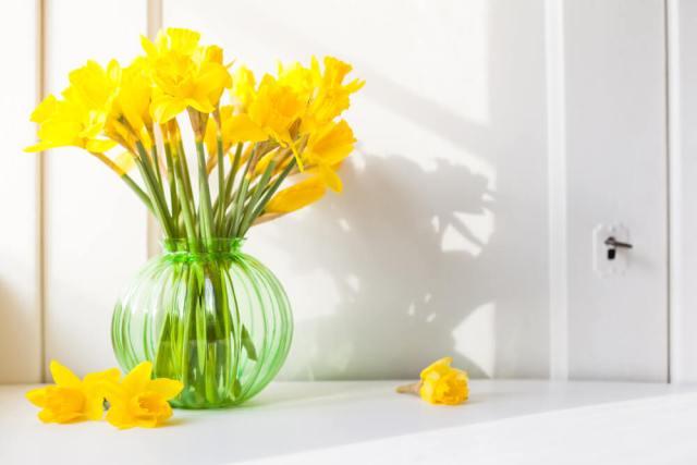 cutting and displaying daffodils