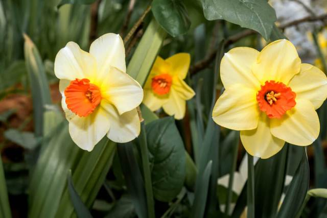small cup daffodil