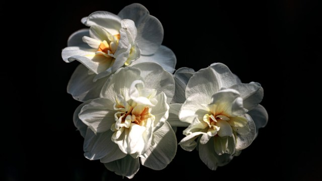 triandus daffodils