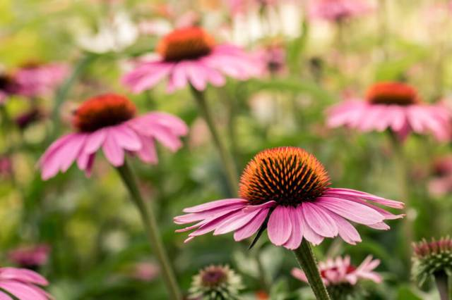 Echinacea in the spring