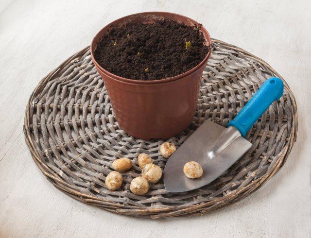 Fritillary in pots