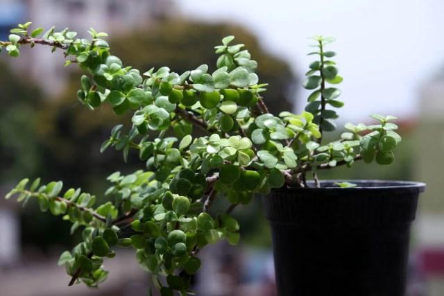 crassula jade plant