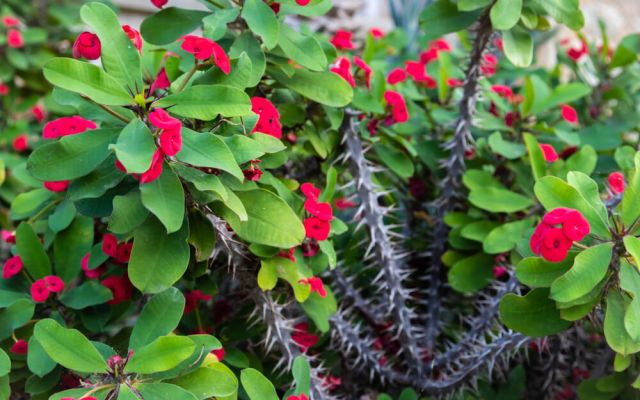 how to grow crown of thorns