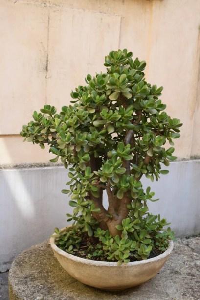 Storing Jade Plants