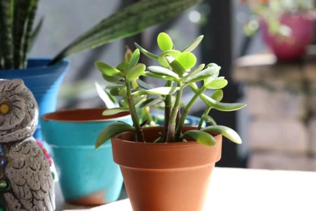 How to Grow Jade Plants