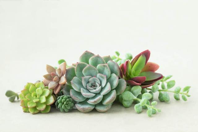 pruning succulents