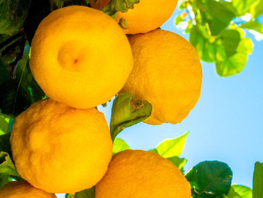 citrus tree 1