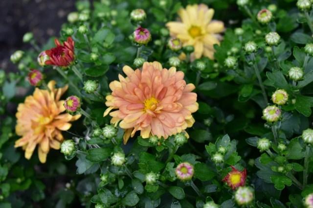 triploid marigolds