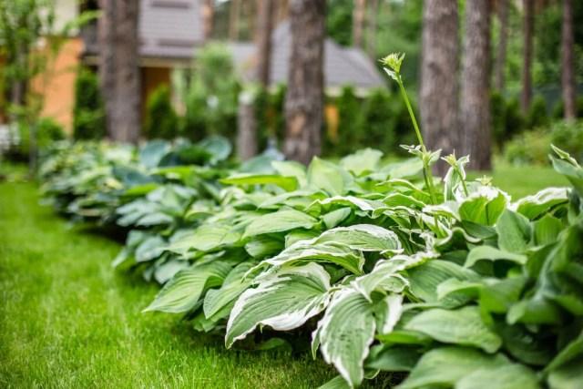 best hosta fertilizer