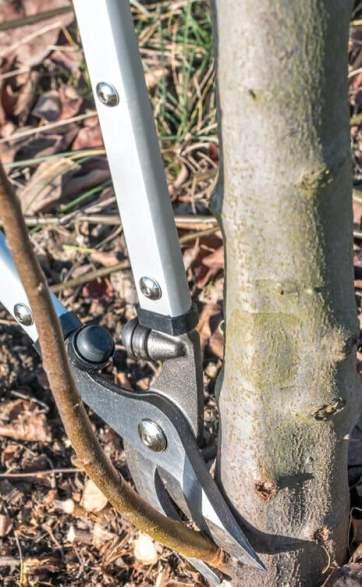 pruning suckers