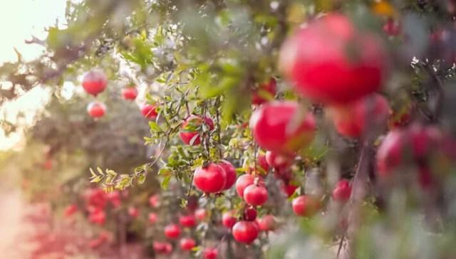pomegranate 2