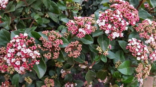 Viburnum shrub