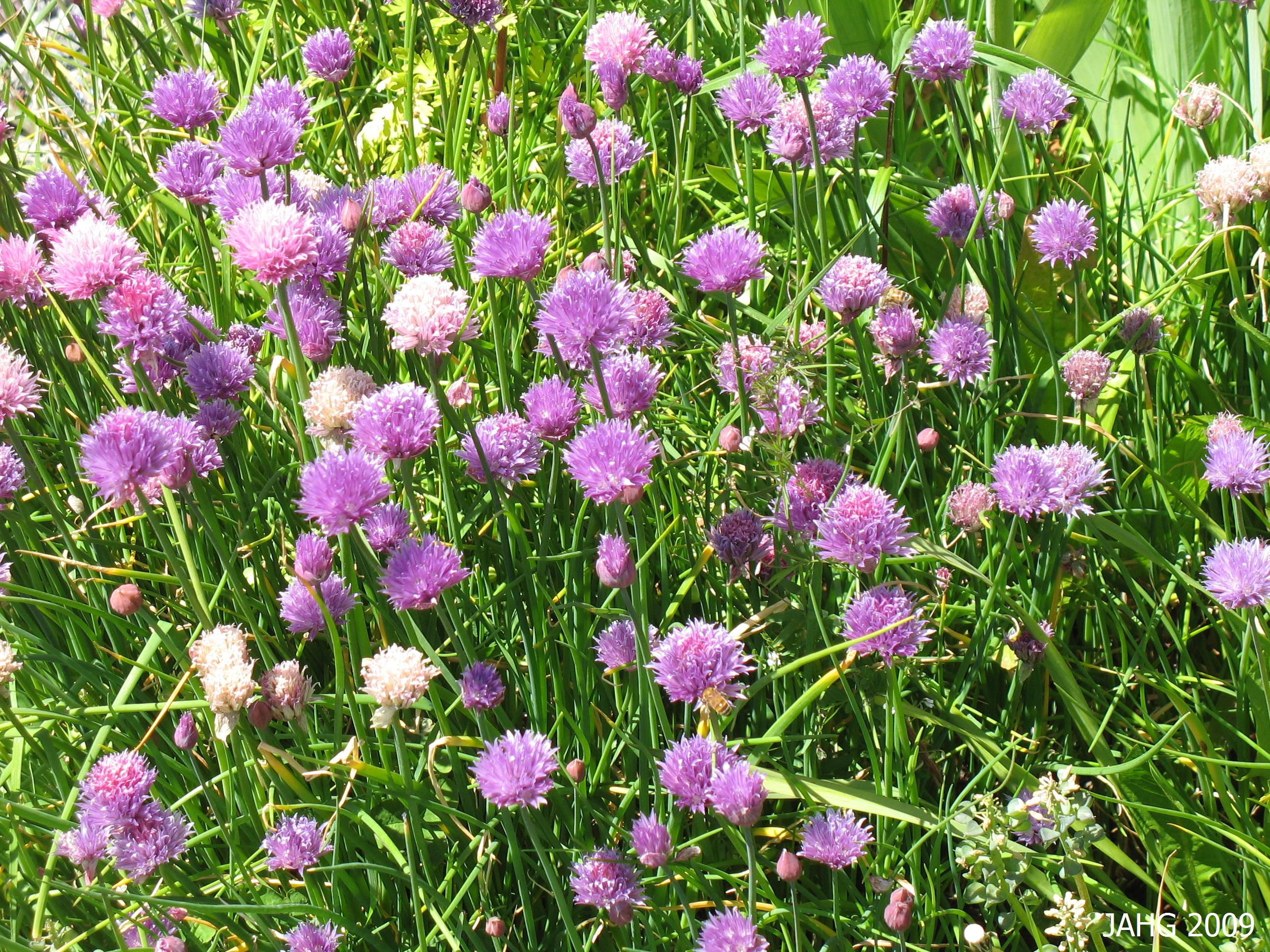 The Familiar Papery Purple Flowers of Chives.