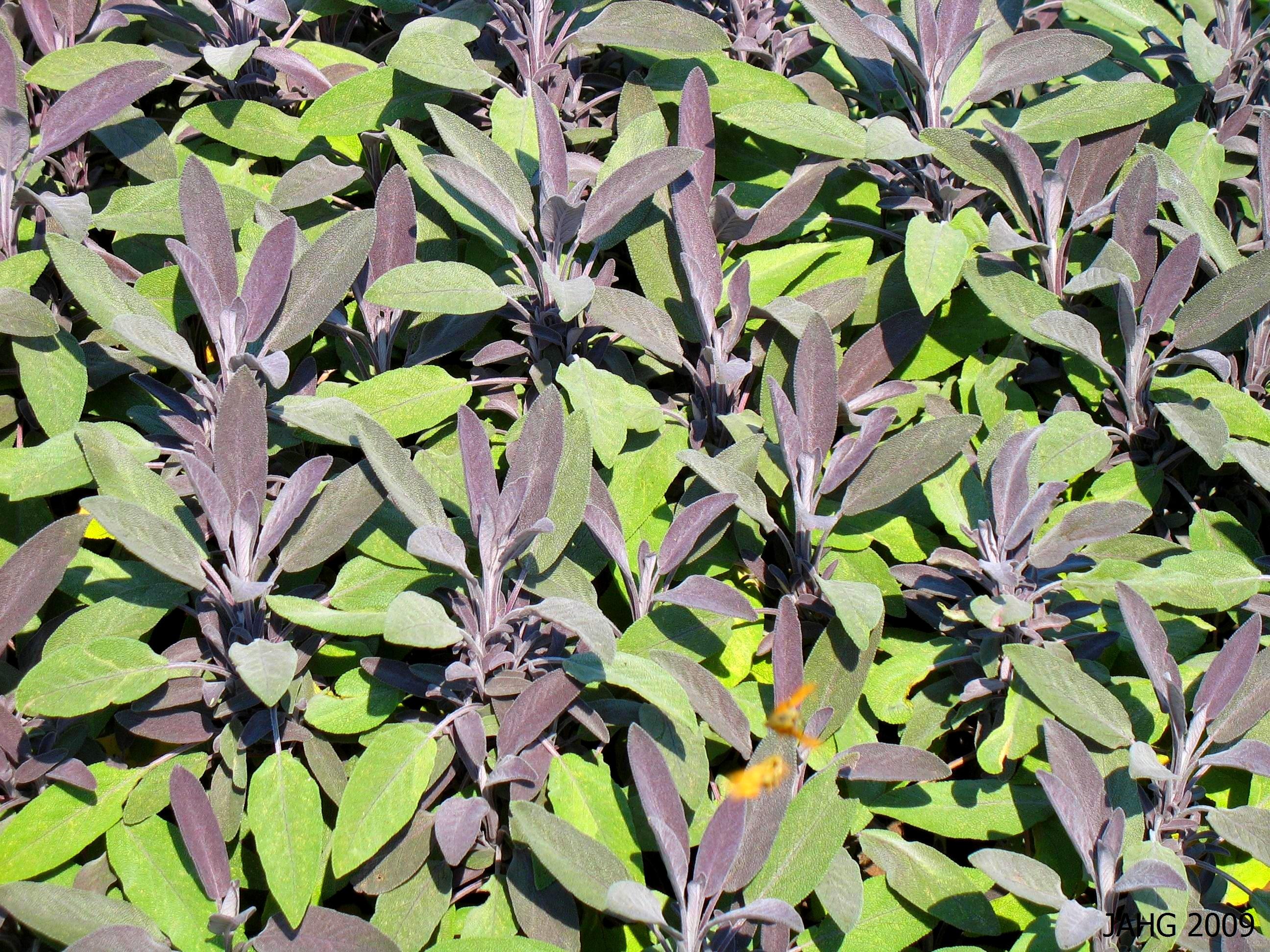 Salvia officinalis 'Purpascens'
