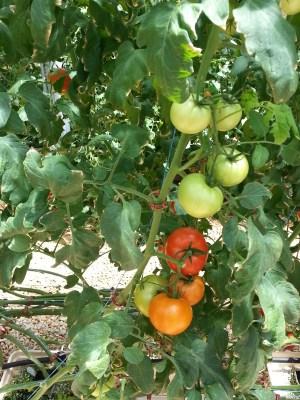 Tomatoes my love
