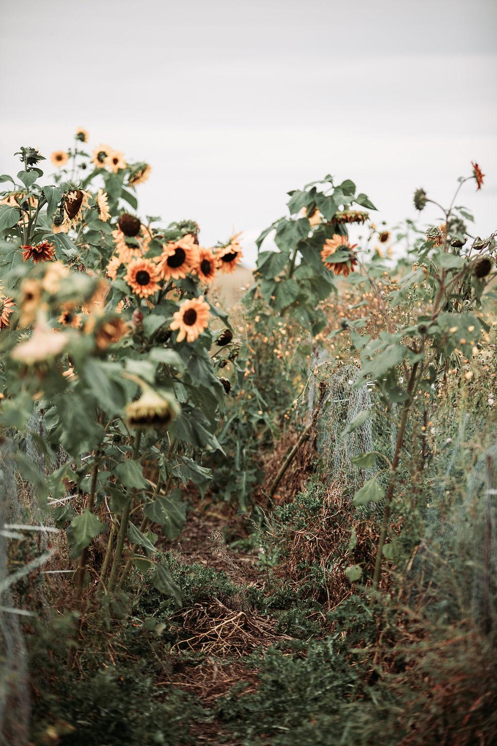 sunflower garden at the end of a season