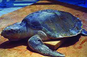 Rescued Sea Turtles: Some to be Released
