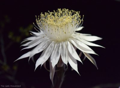 Night-blooming Cereus: Second Bloom