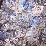 Pretty cherry blossoms DC washingtondc cherryblossoms